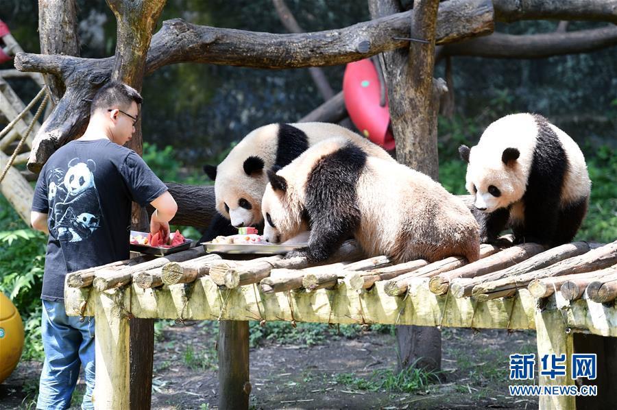 7月13日,重庆市动物园工作人员为大熊猫喂食冰镇竹笋,西瓜等.