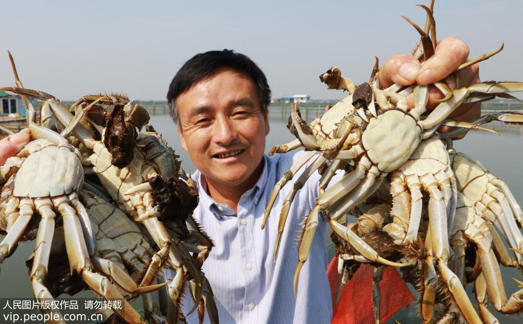 蘇州陽澄湖大閘蟹正式開捕