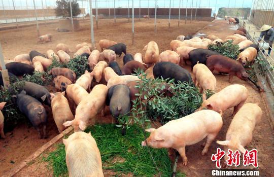 青山源生态养殖场内数十头肥猪在啃食树叶和青草. 王成前 摄图片