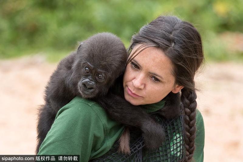 在英国布里斯托尔动物园的大猩猩岛上,一只半岁大的大猩猩阿菲亚(afia