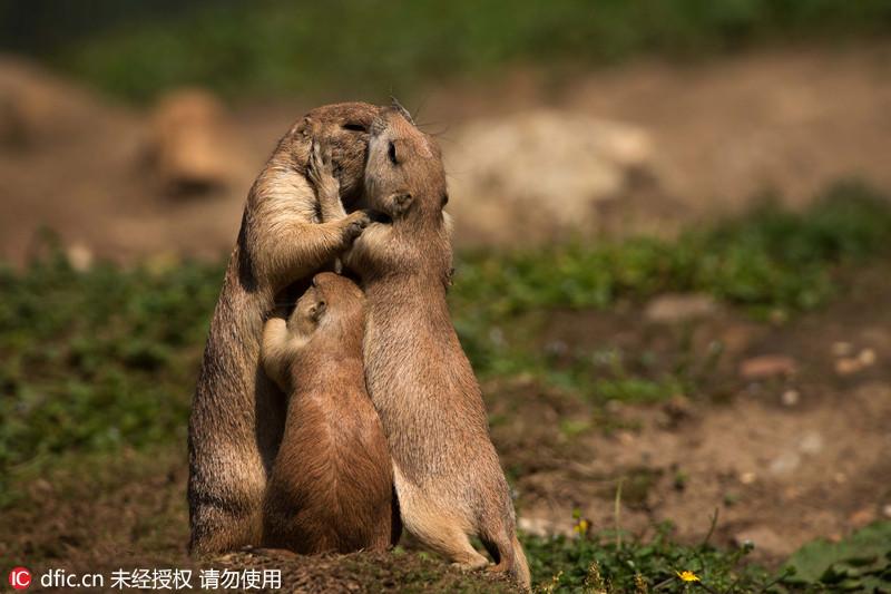 其中一张照片显示,土拨鼠爸爸,妈妈和宝宝三只相拥在一起,同时鼠爸和
