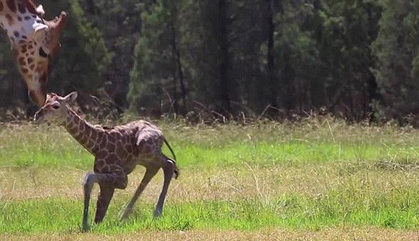 澳动物园新生长颈鹿宝宝勇敢尝试独立站立